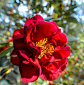 Red Flower by Miranda Strapason