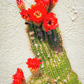 Red Flowering Cactus by Bonnie Follett