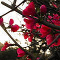 Red Flowers At Sunset by Andrea Mazzocchetti