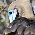 Red Footed Booby by Harry Coburn