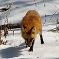 Red Fox 2 by James Seitzinger