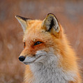 Red Fox 4 by Raymond Salani III