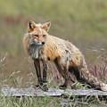 Red Fox  American Camp San Juan Island by Sandy Buckley
