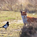 Red Fox And Magpie by Bob Kemp