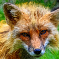 Red Fox by Anthony Murphy