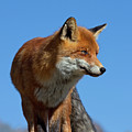 Red Fox by Arterra Picture Library