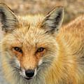 Red Fox At Island Beach by Kristia Adams