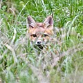 Red Fox Baby Hiding by Jeramey Lende