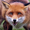 Red Fox by Ceri Jones