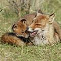 Red Fox Cub Love by Menno Schaefer