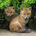 Red Fox Cubs by Arterra Picture Library