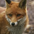 Red Fox by Franco De Luca Calce Wildlife Photographer