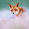 Red Fox In A Mysterious World by Roeselien Raimond