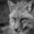 Red Fox In Black And White by Teresa Wilson