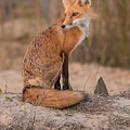 Red Fox In Pose by MCM Photography