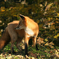 Red Fox In Shadows by Doris Potter