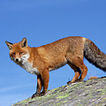 Red Fox In The Alps by Arterra Picture Library