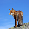 Red Fox In The Mountains by Arterra Picture Library
