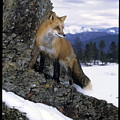Red Fox In The Mountains by Larry Allan