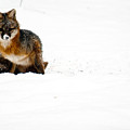 Red Fox In The Snow by Douglas Barnett