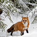 Red Fox In Winter by Scott Read