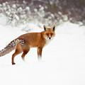 Red Fox In Winter Wonderland by Roeselien Raimond