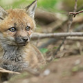Red Fox Kit by Everet Regal