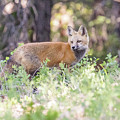 Red Fox Kit Looking For Mom by Tony Hake