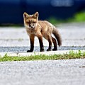 Red Fox Kit On Road by Jeramey Lende