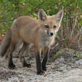 Red Fox Kit by Paul Rebmann