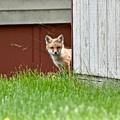 Red Fox Kit Peaking Around Old Barn by Jeramey Lende