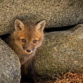 Red Fox Kit Peek A Boo by John Vose