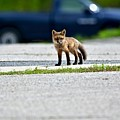 Red Fox Kit Standing On Old Road by Jeramey Lende