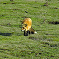 Red Fox by Louise Magno
