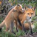 Red Fox Mama's Love Bite by Leslie Reagan -  Joy To The Wild Photos