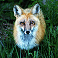Red Fox by Mark Ivins