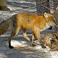 Red Fox Mommy And The Cutest Puppy by Asbed Iskedjian