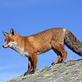 Red Fox On The Rocks by Arterra Picture Library