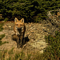 Red Fox by Paul Mangold