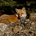 Red Fox Pictures 126 by World Wildlife Photography