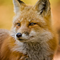 Red Fox Pictures 131 by World Wildlife Photography