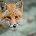 Red Fox Pictures 146 by World Wildlife Photography