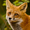 Red Fox Pictures 155 by World Wildlife Photography
