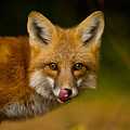 Red Fox Pictures 157 by World Wildlife Photography