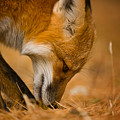 Red Fox Pictures 164 by World Wildlife Photography