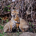 Red Fox Pictures 65 by World Wildlife Photography