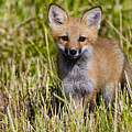 Red Fox Pictures 7 by World Wildlife Photography