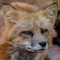 Red Fox Portrait 2 by Teresa Wilson