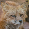 Red Fox Portrait by Teresa Wilson