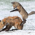 Red Fox Pounce by Robert Buderman